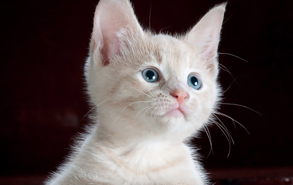 Cute Kitten Animal